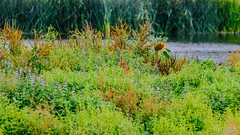 Marsh Lane Nature Reserve 27th July 2019 (boddle (Steve Hart)) Tags: england unitedkingdom solihull stevestevenhartcoventryunitedkingdomcanon5d4 nature steve july reserve lane hart marsh 27th 2019 boddle life road flowers wild flower bird birds canon insect is natural britain wildlife bruce united great ii fungus 5d steven usm coventry 100400mm wilds wyke fungii mk4 kingdon wyken autumn winter sunset summer sky cloud sun weather clouds butterfly landscape spring seasons spiders moth butterflies insects 360 panoramic creepy moths crawley