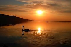 Pálava, South Moravia (ZdenHer) Tags: pálava southmoravia sunset swan water lake děvičky sky clouds czechrepublic canonpowershotg7xmarkii landscape