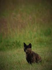 Chat dans le pré (danielled61) Tags: chat cat pré félin juillet été prairie macro portrait regard vert