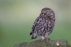 Little Owl (Simon Stobart) Tags: little owl athene noctua perched wall north east england uk