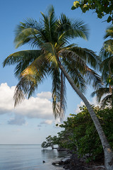 Palm Tree in Playa Larga, Cuba