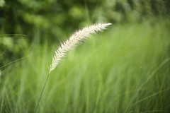 grass flower: @F0.95 (#My Way#) Tags: m10noct50hauhin2019 grass flower sample noct noctilux 50mm asph f095 wide open bokeh dof plant green white