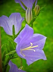 Wünsche allen einen schönen Sonntag! -  Wish you all a nice Sunday! (fleckchen) Tags: blumen blüten blau blumenblüten blumenblüte sommer natur glockenblume garten flowers flower flora campanula glockenblumengewächs campanulaceae pflanzen zierpflanzen