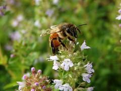 Love flowers! (eijun.ohta) Tags: bee flower insect herb oregano garden antenna hexapod 蜂 ハチ ミツバチ honeybee 触角 花 ハーブ オレガノ 庭