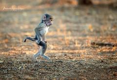 Dancing (michael heyns) Tags: chacmababoon oldworldmonkeys mashatu 2019 mammal monkeysandapes cercopithecidae papioursinus primates