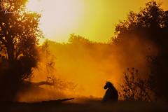 Chacma Baboon sunset (michael heyns) Tags: chacmababoon oldworldmonkeys mashatu 2019 mammal monkeysandapes cercopithecidae papioursinus primates