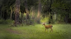 beauté à l'aube (JDS Fine Art Photography) Tags: deer baby babydeer nature beauty woods forest green naturalbeauty naturesbeauty inspirational trees