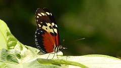Heliconius hecale P1400443 (Andrew Neild, UK) Tags: colombia butterflies mariposas schmetterlinge borboletas 蝴蝶 papillons 蝶 farfalle sunstreak heliconius hecale