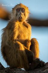 Chacma Baboon (michael heyns) Tags: chacmababoon oldworldmonkeys mammal 2019 monkeysandapes mashatu cercopithecidae papioursinus primates