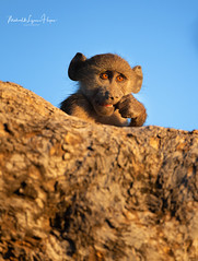 Chacma Baboon (michael heyns) Tags: chacmababoon oldworldmonkeys mashatu 2019 mammal monkeysandapes cercopithecidae papioursinus primates
