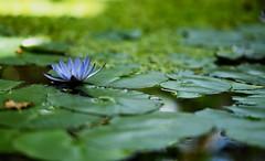 flower 1705 (kaifudo) Tags: sapporo hokkaido japan botanicalgarden flower waterlily 札幌 北海道 北大植物園 睡蓮 nikon d5 nikkor afs 105mmf14eed 105mm