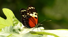 Heliconius hecale P1400442 (Andrew Neild, UK) Tags: colombia butterflies mariposas schmetterlinge borboletas 蝴蝶 papillons 蝶 farfalle sunstreak heliconius hecale