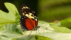 Heliconius hecale P1400441 (Andrew Neild, UK) Tags: colombia butterflies mariposas schmetterlinge borboletas 蝴蝶 papillons 蝶 farfalle sunstreak heliconius hecale