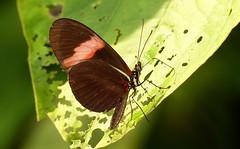 Heliconius erato P1400762 (Andrew Neild, UK) Tags: colombia butterflies mariposas schmetterlinge borboletas 蝴蝶 papillons 蝶 farfalle sunstreak erato heliconius