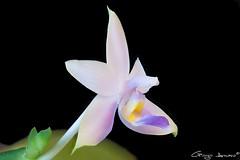 "Phalaenopsis violacea ""Malaysian Blue"" (Giorgio Armano) Tags: orchid orchidea orchids orchidee nikon macro helicon fiore focus flower fiori phalaenopsis violacea malaysian blue"