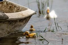 duck and her babies :) (engin_photos) Tags: animal duck duckling ördek sapancagölü lake nature water sapanca m43 olympusyollarda olympusturkiye mft olympus40150mm bird outside new
