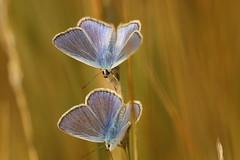 Azurés (CharlieSUN03) Tags: papillon insecte macro bleu ailes antennes rayées duo azuré lépidoptère