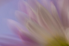 Petal surfing (alideniese) Tags: icm intentionalcameramovement blur flower petals alideniese abstract impressionism