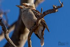Kookaburra (Aspect_Images) Tags: ngc nature wildlifephotography wildlife birdlife birdphotography birdsofflickr birds bird kookaburra naturephotography