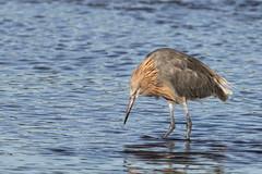 Reddish Egret - Ding Darling National Wildlife Refuge, Sanibel Island, Florida (Larry Hubble) Tags: reddishegret egrettarufescens dingdarlingnationalwildliferefuge sanibelisland florida unitedstates