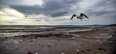 Cruising............. (kevaruka) Tags: forth bridge railway firth scotland evening kevin frost scenic sea estuary water rail colour colours wide angle uwa clouds cloudy day cloud summer july 2019 26072019 canon eos 5d mk3 ef24105f4l 5d3 5diii flickr front page thephotographyblog composition wife daughter