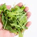 Fresh Healthy Green Rucola in the hand above white background