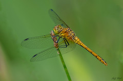 DSC0574  Ruddy Darter... (Jeff Lack Wildlife&Nature) Tags: ruddydarter darter darters dragonflies dragonfly odonata insects insect ponds lakes wetlands foliage wildlife wildlifephotography jefflackphotography waterways ditches marshland marshes macro countryside naturephotography nature