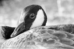 Canada goose portrait (Graham Bowley) Tags: summer riverthames wildlife waterfowl reading monochrome goose evening canadageese berkshire