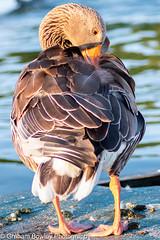 Greylag goose (Graham Bowley) Tags: summer riverthames wildlife waterfowl reading birds goose evening greylag berkshire