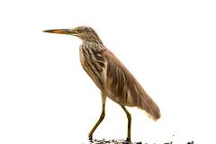 heron-5251 (Balaji Photography : 7.0 Million views) Tags: birds birdphotography birdwatcher birdphotographer birdlovers egret stilt heron