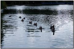 Ànecs al Parc Schierbeck, Puigcerdà (la Baixa Cerdanya) (Jesús Cano Sánchez) Tags: elsenyordelsbertins fujifilm xq1 catalunya catalonia cataluña gironaprovincia cerdanya cerdaña cerdagne baixacerdanya bajacerdaña bassecerdagne puigcerda estany lago lake anec pato duck