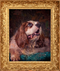 Sir Oliver (Pepenera) Tags: dogs dog cane cani cavalier cavalierkingcharlesspaniel portrait photography foto