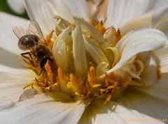 Bloemen 4 juli 2019 (Marjon van der Vegt) Tags: bloemen denhaag juli zon zomer zonnebloem passiebloem dahlia klaproos lelie