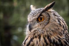 20181024_07734.jpg (markus.eymann@hotmail.ch) Tags: grau ungesättigt tier uhu katalog raubtier vogel schlosholtestukenbrock nordrheinwestfalen deutschland