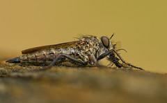 Raubfliege mit Beute (normen.nikon) Tags: d500 nikon sigma 105 makro insekt natur wildlfie wildlife freihand