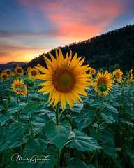 Sunflower sunset (moritzgyssler) Tags: baselland sonnenblumen sunset ormalingen nature