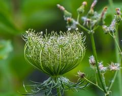 Trail Green. (Omygodtom) Tags: nature green milkweed dandelion outside trail d7100 bokeh dof usgs algorithm macro