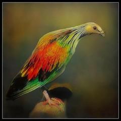 Nicobar pigeon (Caloenas nicobarica) (ulli_p) Tags: asia art amazingcolours aworkofart bird birds flickraward colours nature texture textured texturedphoto