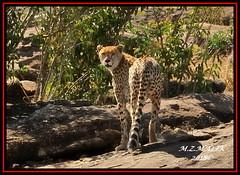 CHEETAH (Acinonyx jubatus).....MASAI MARA....SEPT, 2018. (M Z Malik) Tags: nikon d3x 200400mm14afs kenya africa safari wildlife masaimara keekoroklodge exoticafricanwildlife exoticafricancats flickrbigcats cheetah acinonyxjubatus ngc npc
