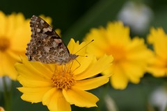 Would you like some honey? (Abhay Parvate) Tags: butterfly flower colors nature oomiyapark saitama 大宮公園 埼玉