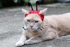 Jimmy modeling Ella's new birthday hat (Kerri Lee Smith) Tags: jimmy cats felines tabbies summer backyard hat ladbybug buff orange sooc etsy missmaddymakes