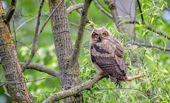 Great Horned Owl Fledgling (Chris St. Michael) Tags: bird birdofprey owl greathornedowl fledgling wildlife wildlifephotography nature naturephotography owlet