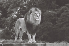 R1-05121-0023 (llamagrapher) Tags: minolta srt102 rokkor 300mmf45 kentmere400 washingtondc nationalzoo blackandwhite bw lion cat animal