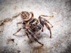 Macaroeris nidicolens (mickmassie) Tags: arachnida araneae salticidae spider wansteadflats