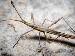 Chorosoma schillingi (Rhopalidae) (mickmassie) Tags: wansteadflats