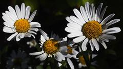 Garden daisies (Gill Stafford) Tags: flower flora daisy oxeye moonpennies flowerhead' flowerhead'flowers plant outdoor closeup'closeup'macro flowerhead' flowerhead'flowers closeup'closeup'macro