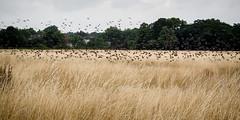 Starlings (mickmassie) Tags: wansteadflats
