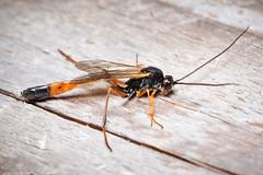 Ichneumonidae -Anomaloninae - highly reticulated propodeum, fairly common in dry habitats unlike other ichneumons (mickmassie) Tags: wansteadflats hymenoptera insecta ichneumonidae parasitica anomaloninae gravenhorstiini