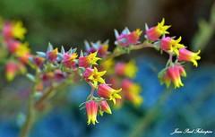 'Echeveria'  _  Ar Paeron (jean-paul Falempin) Tags: plantes fleur echeveria nature macro botanique arpaeron brittany breizh nikon colors