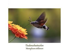 Insektenmakro (ernst.ruhe) Tags: taubenschwänzchen macroglossum macroglossumstellatarum schwärmer schmetterlinge lepidoptera insektenmakro insecta insekten